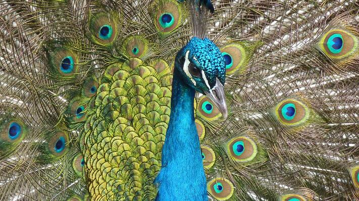 peacock-bird-feather-close-71131.jpeg